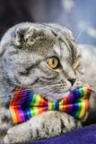 Scottish fold cat in a tie butterfly rainbow colors. Gaze of the cat stock photo