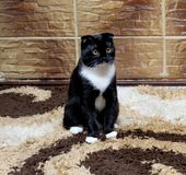 Scottish fold cat at the tile wall Stock Photography