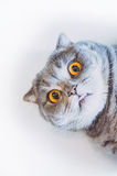 Scottish fold cat with tongue Royalty Free Stock Image