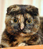 Scottish Fold cat tortoiseshell Royalty Free Stock Photo