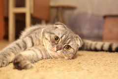 Scottish Fold cat. Very nice Scottish fold cat Royalty Free Stock Image