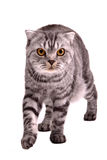 Scottish fold cat walking Royalty Free Stock Images