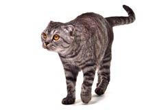 Scottish fold cat walking isolated Royalty Free Stock Photography