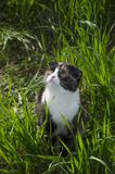 A scottish fold cat walks in a field Stock Image