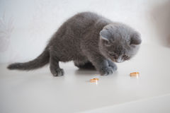 Scottish Fold Cat with wedding rings. wedding Accessories , Ring Royalty Free Stock Image