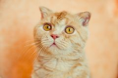Scottish fold cat with wet head Royalty Free Stock Image