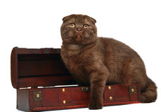 Scottish fold cat with a wooden trunk. A chocolate kitten breed a Scottish fold is in a trunk. Portrait of kitten on a white background Royalty Free Stock Photos