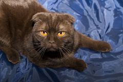 Scottish fold cat with yellow eyes Royalty Free Stock Photo