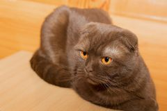 Scottish fold cat with yellow eyes Stock Image