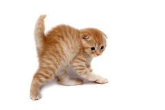 Scottish Fold Cats Stock Photos