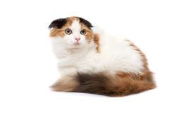 Scottish Fold Cats Royalty Free Stock Photography