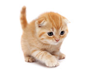 Scottish Fold Cats. Plays on a white background Royalty Free Stock Image