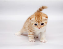 Scottish Fold Cats. Plays on a grey background Royalty Free Stock Images