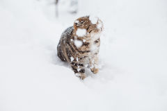 Scottish fold cats. First snow Royalty Free Stock Image