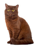 Scottish fold Chocolate cat Royalty Free Stock Image