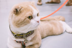 Scottish fold Royalty Free Stock Photo