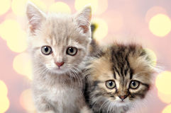 Scottish Fold Ear Breed Kittens Royalty Free Stock Photos