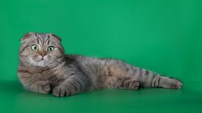 Scottish fold cat resting on a green background royalty free stock photography