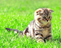 Scottish fold ears kitten sitting on grass Stock Images