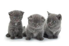 Scottish Fold gray cat stock photos