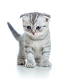 Scottish fold gray cat kitten on white background Royalty Free Stock Images