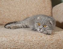 Scottish fold gray cat lying on couch Royalty Free Stock Image