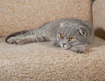Scottish fold gray cat lying on couch Stock Image