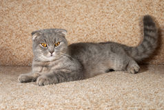 Scottish fold gray cat lying on couch Royalty Free Stock Photo