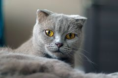 Scottish Fold gray cat posing. stock photo