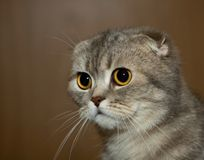 Scottish fold grey cat Royalty Free Stock Photo