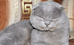 Scottish fold grey cat Stock Image