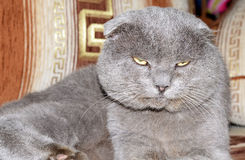 Scottish fold grey cat Stock Photos