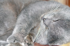 Scottish fold grey cat Royalty Free Stock Photos