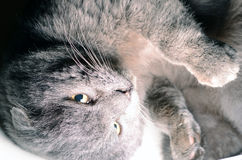 Scottish fold grey cat looking up. Stern look Royalty Free Stock Photography