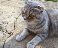Scottish fold grey cat with stripes lying on the stone Stock Photos