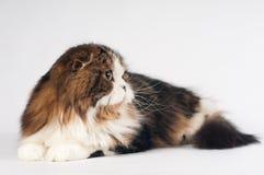 Scottish fold Highland Straight cat portrait Royalty Free Stock Image