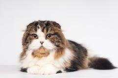 Scottish fold Highland Straight cat portrait Stock Photography