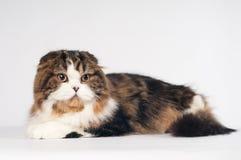 Scottish fold Highland Straight cat portrait Royalty Free Stock Images