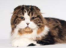Scottish fold Highland Straight cat portrait Stock Photos