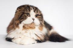 Scottish fold Highland Straight cat portrait Stock Photo