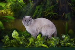 Scottish Fold in the jungle Royalty Free Stock Photos