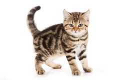 Scottish Fold kitten Royalty Free Stock Images