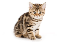 Scottish Fold kitten Royalty Free Stock Photography