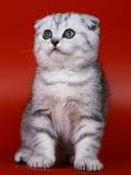Scottish Fold Kitten. Stock Images