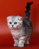 Scottish fold kitten. Scottish fold kitten on a red background Royalty Free Stock Images