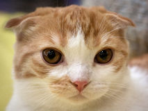 Scottish Fold kitten. The portrait of orange and white scottish fold cat. Shallow depth of field, selective focus Stock Photography