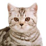 Scottish fold kitten Stock Photos