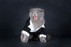 Scottish fold kitten Royalty Free Stock Image
