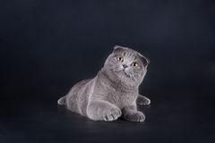 Scottish fold kitten Stock Photo