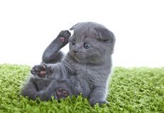 Free Scottish Fold Kitten Stock Images - 25210414